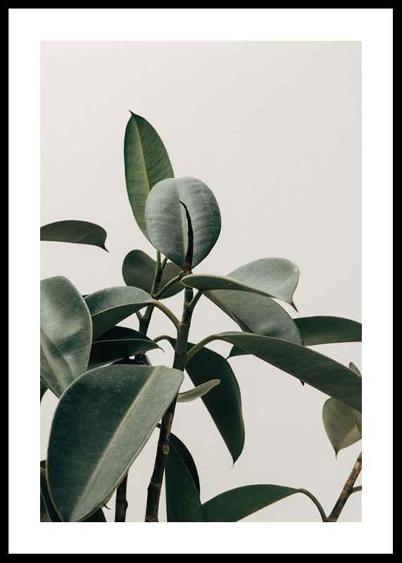 Rubber Plant-0