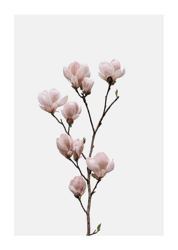 Magnolia Flower-1