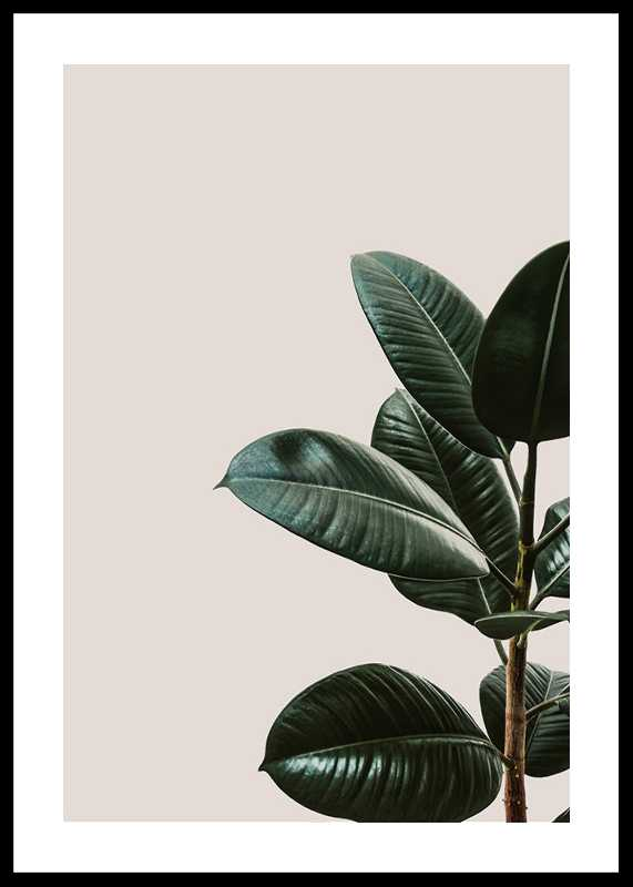 Rubber Plant Natural-0