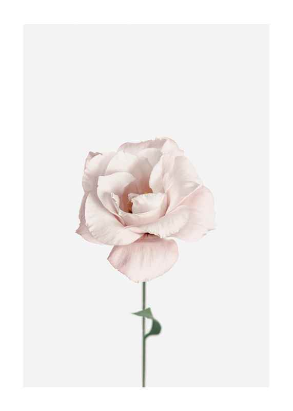 Pink Rose No1-1
