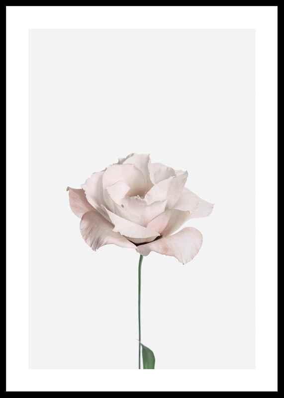 Pink Rose No2-0