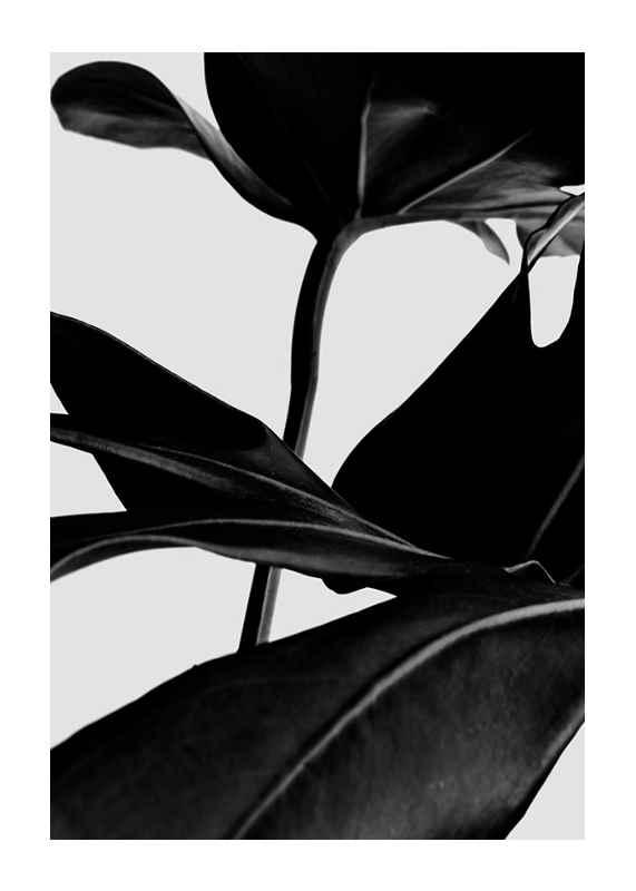 Ficus Black-1