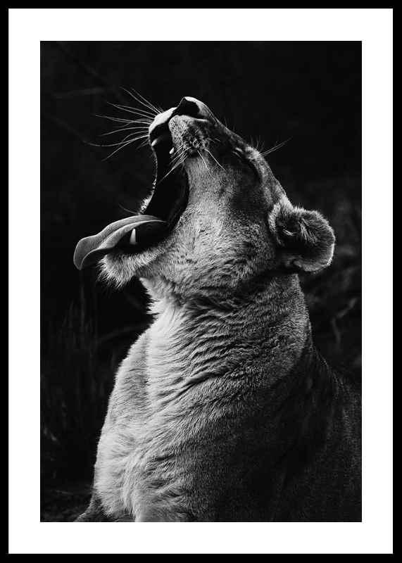 Yawning Lion-0