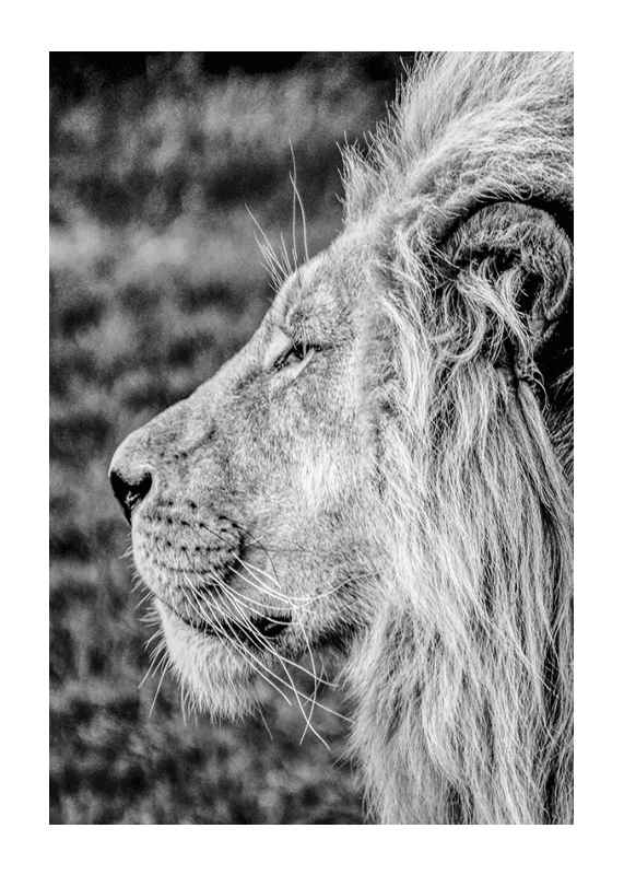Male Lion Profile-1