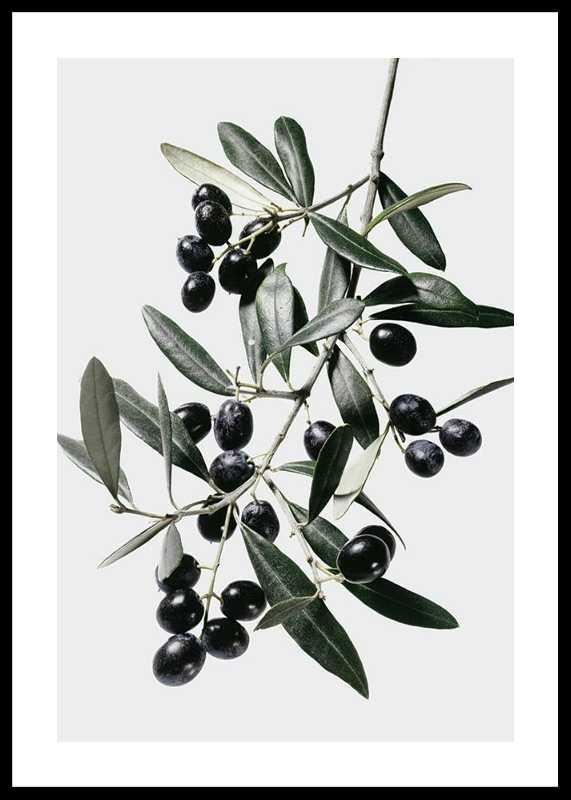 Olive Branch-0