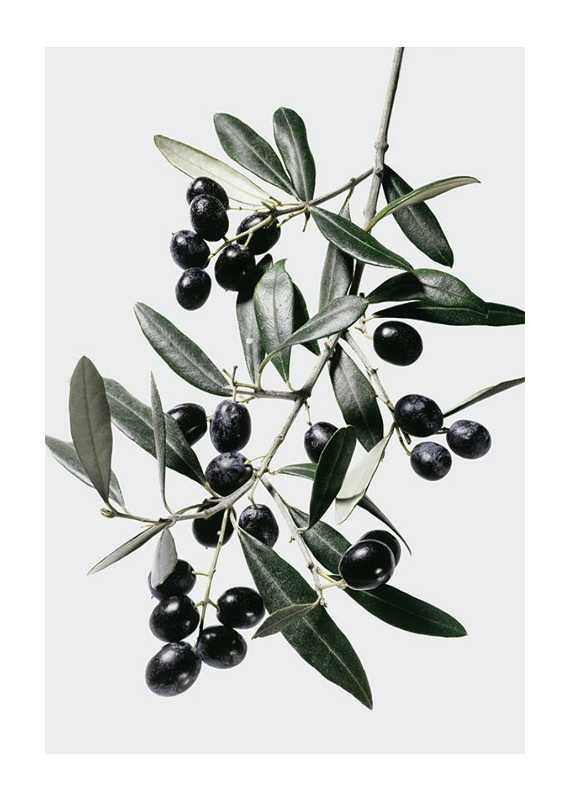 Olive Branch-1