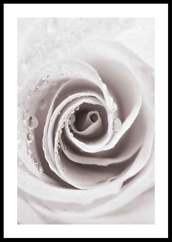 Bright Pink Rose No1-0
