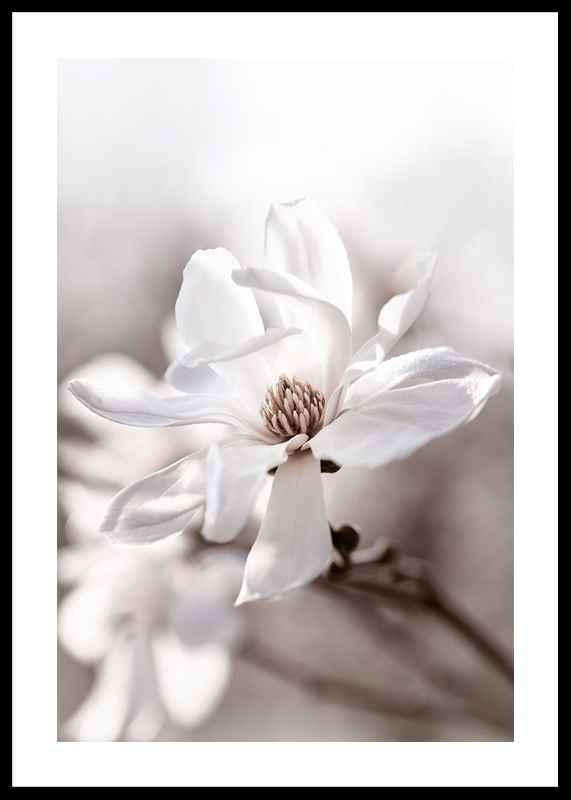 Flowering Star Magnolia-0