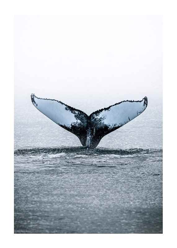Humpback Whale-1