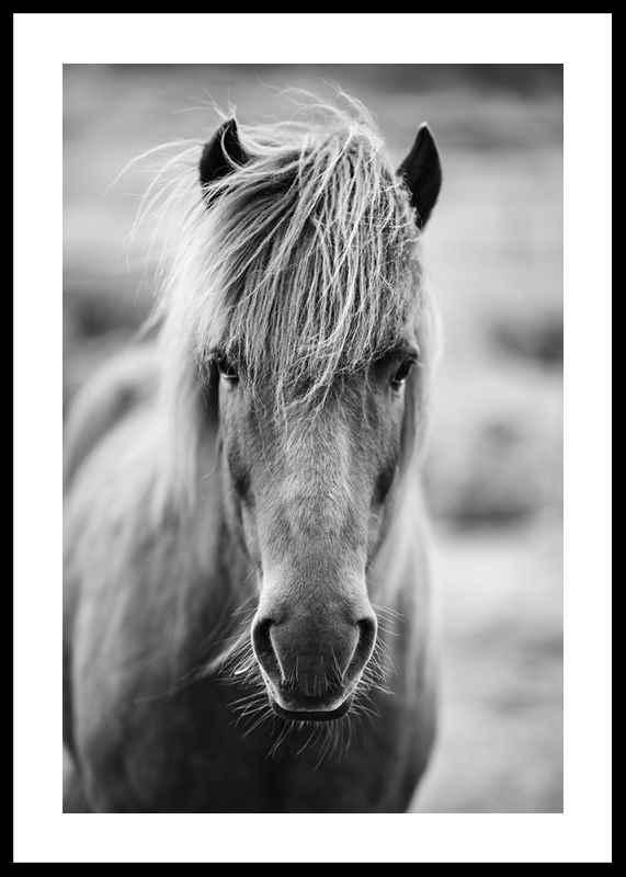 Icelandic Horse B&W-0