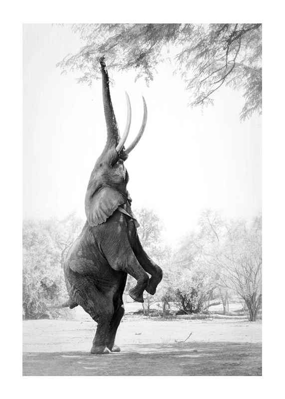 Standing Tall Elephant-1