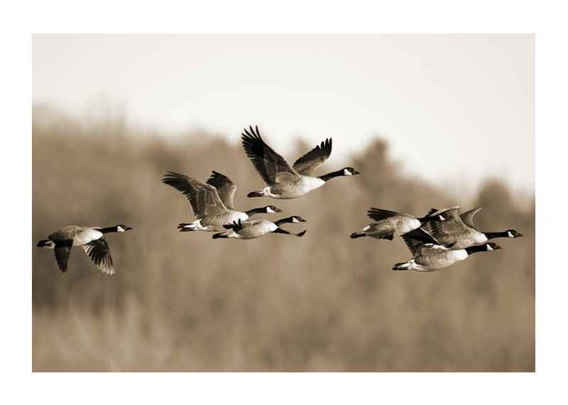 Canada Geese-1