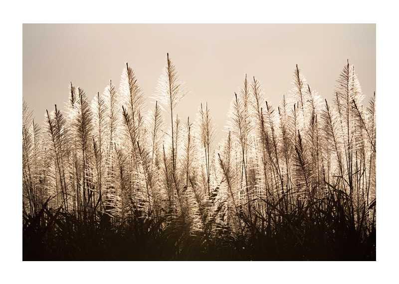 Sugar Cane-1