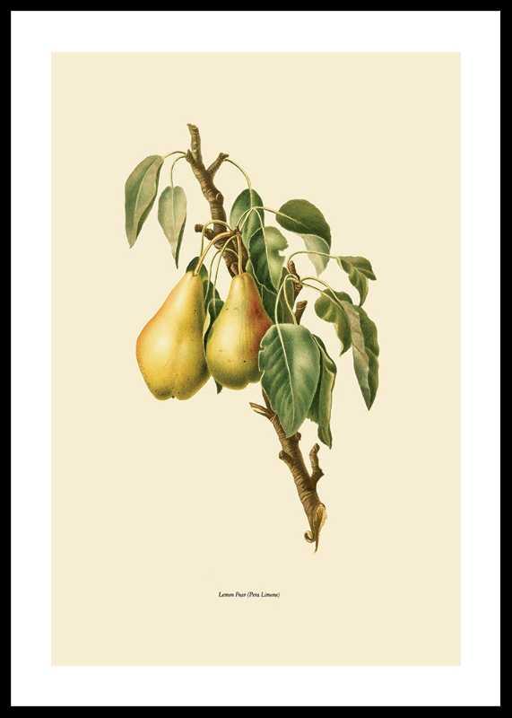 Lemon Pear