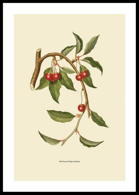 Red Cherries-0