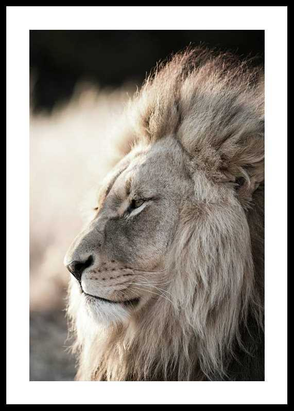 Male African Lion-0