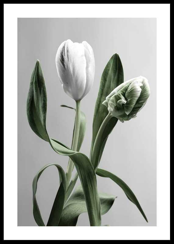 Tulip Flower-0