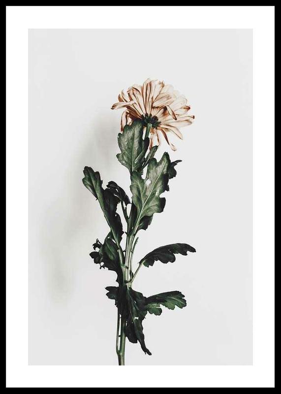 Chrysanthemum No1