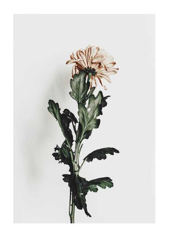 Chrysanthemum No1-1