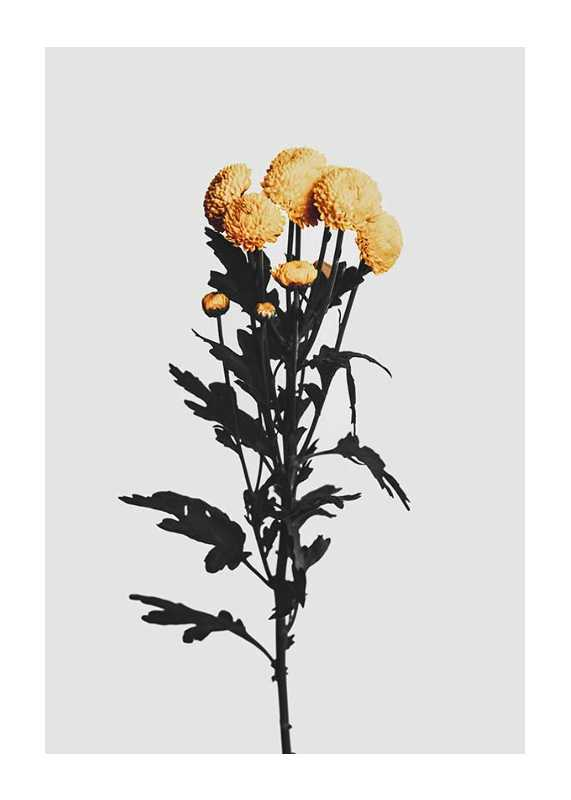 Chrysanthemum No2-1